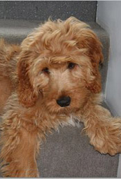 Cocker Spaniel Poodle Mix