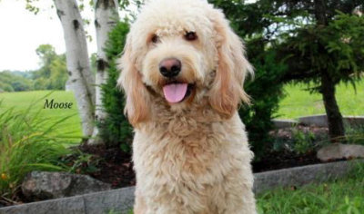 Evan Mills N Y Nancy Goldendoodles F1b Size Mini Medium Standard Breeding Doods Since 2005
