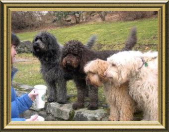 FAQ: Doods & Generations - Goldendoodles